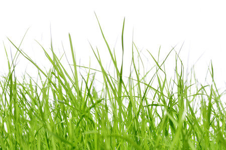 young grass in front of white background 版權商用圖片