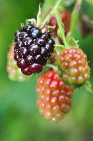 blackberry bush: Blackberry bush