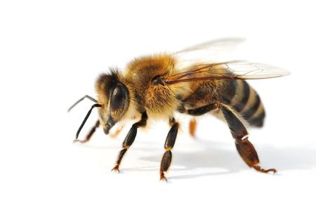 白い背景の前で西洋ミツバチ
