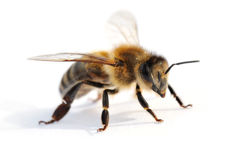 Western honey bee in front of white background 版權商用圖片 - 32489062