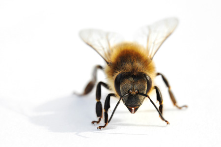 Western honey bee in front of white background