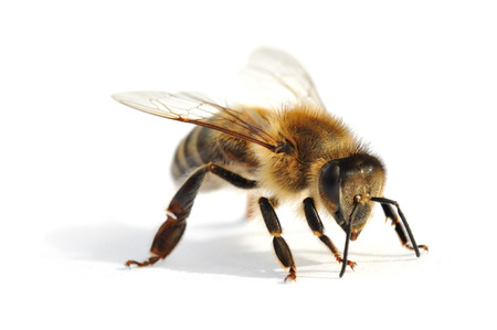Westerse honingbij in de voorkant van de witte achtergrond Stockfoto