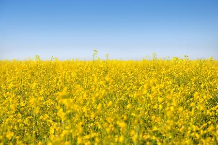 feld: yellow rape field on a summer day