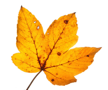 gold en: isolated autumn leaves of a maple tree
