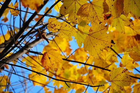 gold en: maple with orange autumn leaves