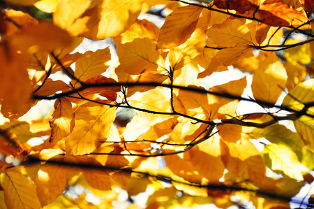 zweig: beech with orange autumn leaves Stock Photo