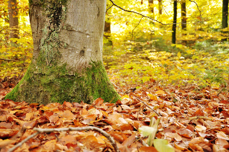 gold en: forest bottom with autumn leaves of a beech Stock Photo