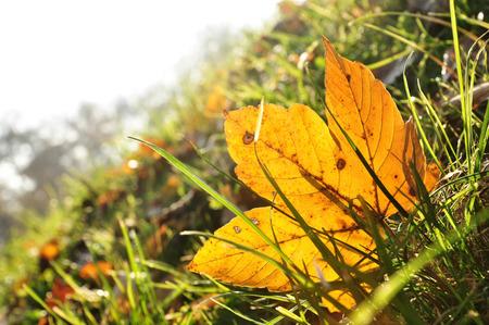 gold en: maple autumn leaves in the garden