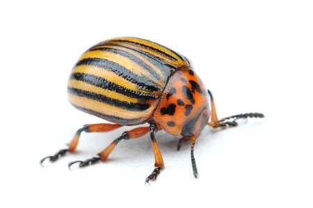 isoliert: little striped potato bug, isolated Stock Photo