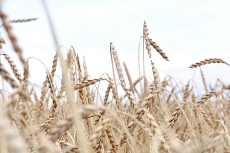 feld: field with spelt ready to harvest Stock Photo