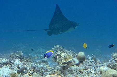 Onderwater Wereld Malediven, eagle ray Stockfoto
