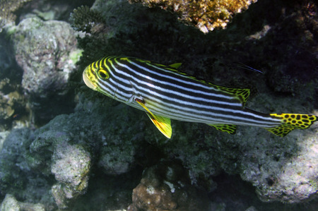 Onderwater Wereld Malediven, Plectorhinchus vittatus Stockfoto - 33780136
