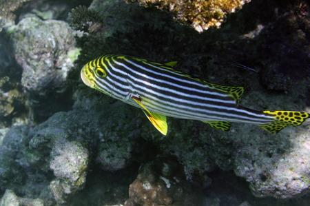 sweetlips: Underwater World Maldives, Indian Ocean oriental sweetlips