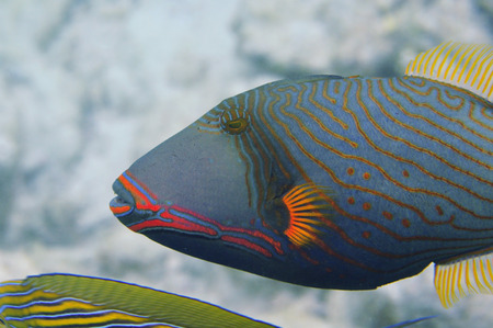 Underwater World Malediven, Orange omzoomde triggerfish Stockfoto - 33780146