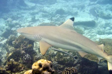 Underwater World Malediven, Blacktip rifhaai Stockfoto - 33780151