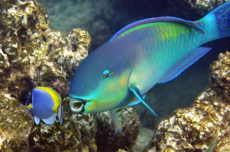 tourismus: Underwater World of Maldives, Parrotfishes Stock Photo
