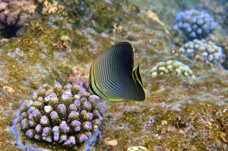 Underwater World Malediven, weinig butterflyfish