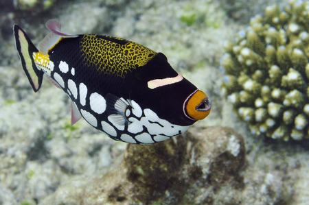 triggerfish: Underwater World Maldives, Clown triggerfish