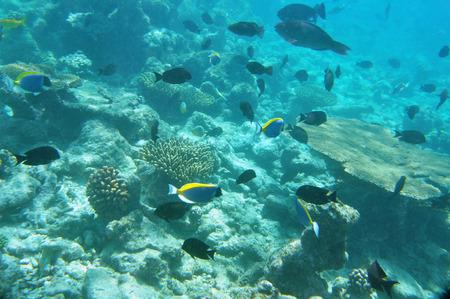acanthurus leucosternon: Underwater World Maldives, coral reef