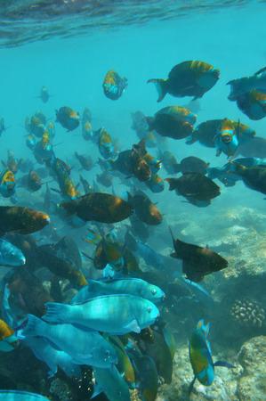 Underwater World of Malediven, Papegaaivissen Stockfoto - 33780203
