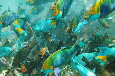 Underwater World of Malediven, Papegaaivissen Stockfoto