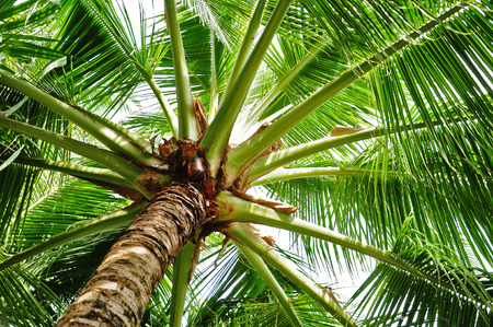tourismus: detail of treetop of a coconut palm Stock Photo
