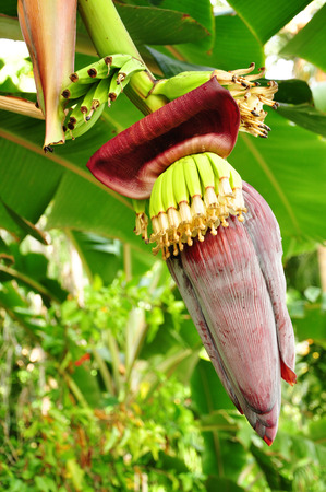 detail of banana flower with fruit stand photo