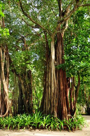 tourismus: big banyan tree in the maldives