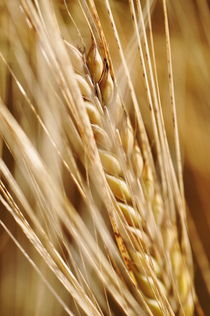 pflanze: a field with ripe barley