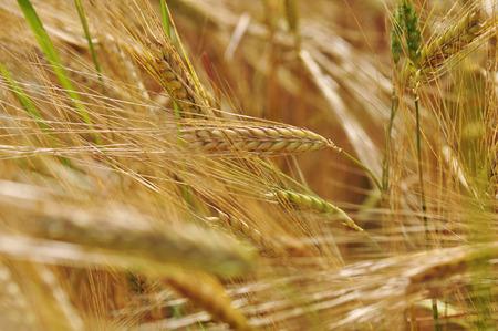feld: a field with ripe barley