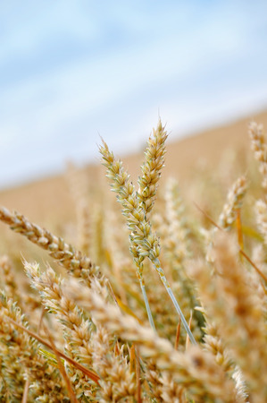 pflanze: detail of a wheat field