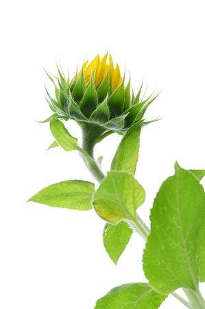 knospe: beautiful sunflowers on the field