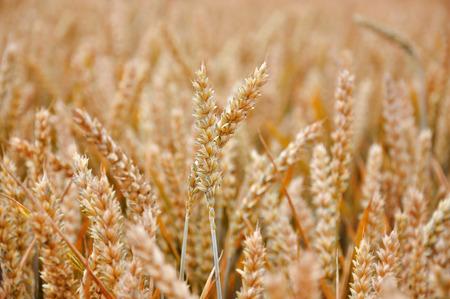 feld: detail of a wheat field
