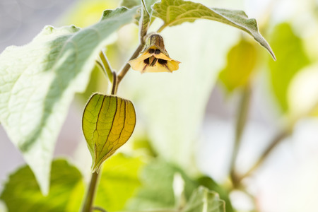 unripe: flowering Physalis with unripe fruits Stock Photo