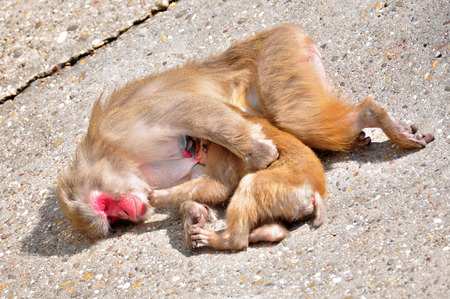 motherly: Japanese macaque, mother suckling her child