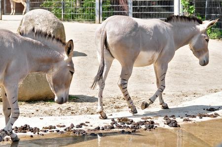 wild donkey: african wild donkey on the water