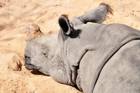 Sandy soil: durmiendo rinoceronte indio, suelo arenoso