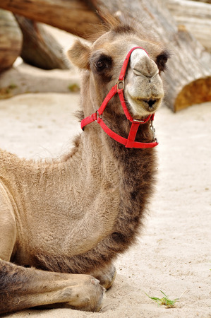 one humped: camel resting on sandy ground
