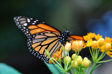 black butterfly: American Monarch sitting on orange flower