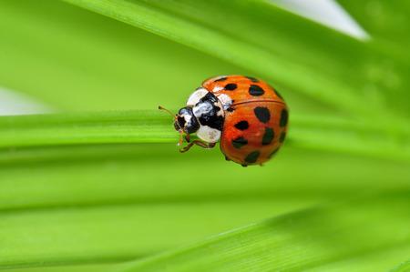 ladybug on leaf: red ladybug on a plant