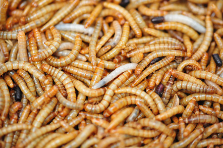 mealworm: very many mealworms on a heap Stock Photo