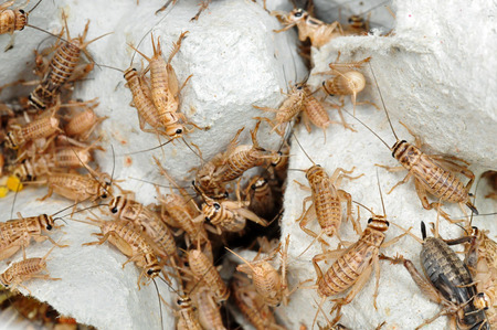 cricket insect: Crickets as live food for reptiles Stock Photo