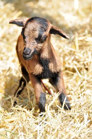 newborn rat: newborn goat in the hay