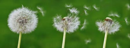 blowball: detail of a blowball; dandelion