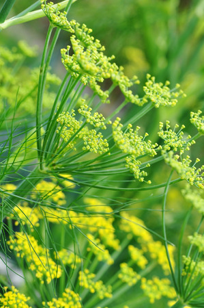 economic botany: Detail of a yellow fennel blossom