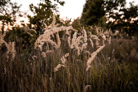 grasses in the autumn evening sun