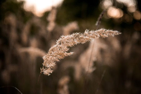 gold en: grasses in the autumn evening sun