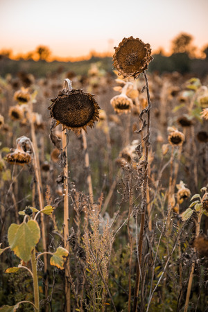 gold en: Withered sunflower in the autumn evening sun