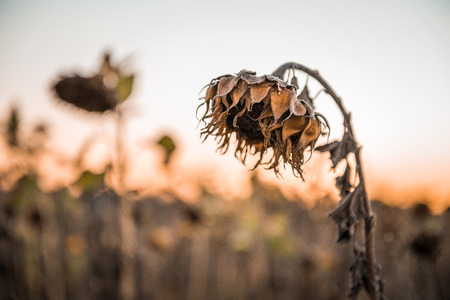 Withered sunflower in the autumn evening sun