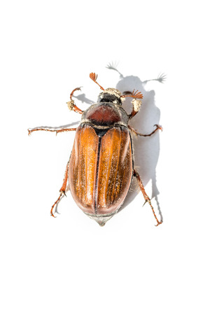brown cockchafer with white background 版權商用圖片